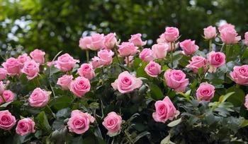 rose-3450846_1920.jpg